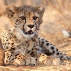 Sick Cheetah Cub Becomes Best Friends With Puppy