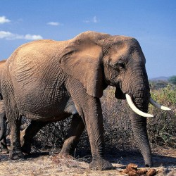 African Elephants Could Become Extinct Within Decades