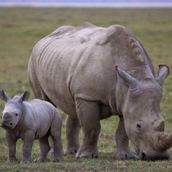 Study Tries To Understand How To Improve Captive Rhino Breeding