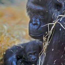 Aspinall Foundation New Born Gorilla
